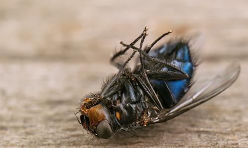 Fliegenbefall